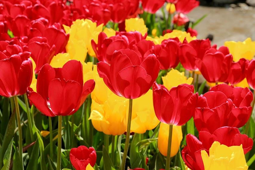 ВЕСНА 14 1634-тюльпаны (копия)2